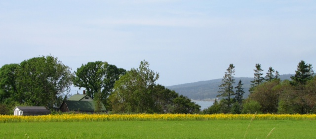A field of Moontide Farm sunflowers on the Bay of Fundy.