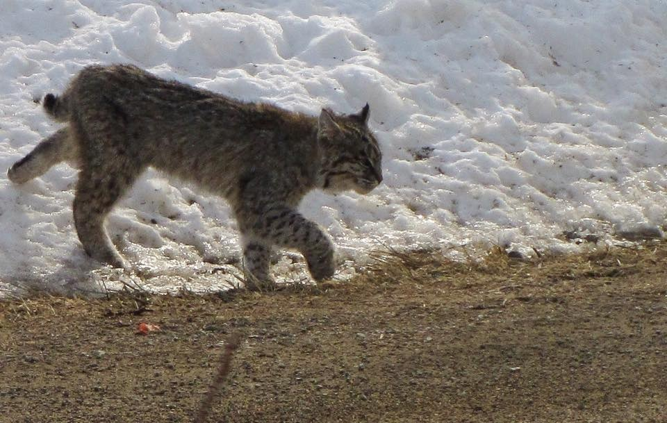 A bobcat took a stroll in front of my house...